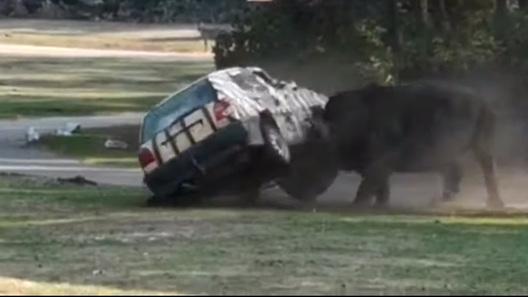 Выжить в ДТП с участием носорога сложно, но можно (невероятное видео)