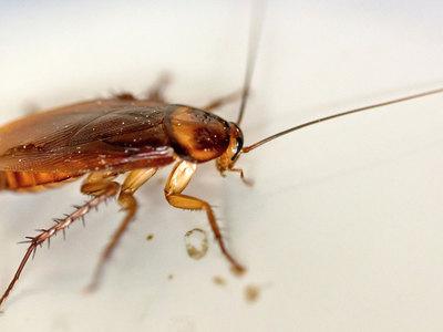 Тараканы выполняют особую миссию на Земле
