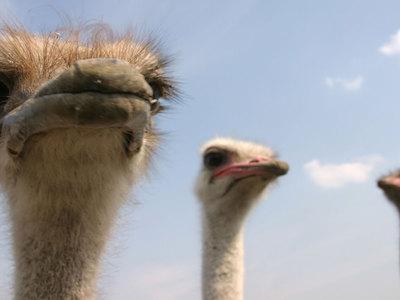 В зоопарке погиб напуганный посетителями страус