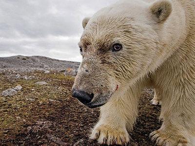 Опасное соседство: около 20 белых медведей обосновались рядом с селом на Чукотке