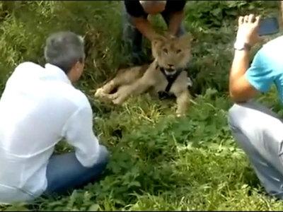 В московской кальянной нашли львенка