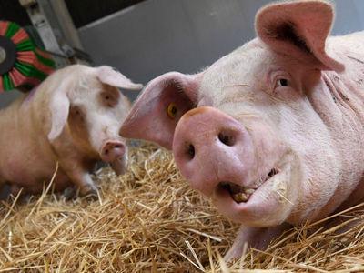 Власти Чехии закрыли свиноферму, находившуюся на территории бывшего концлагеря