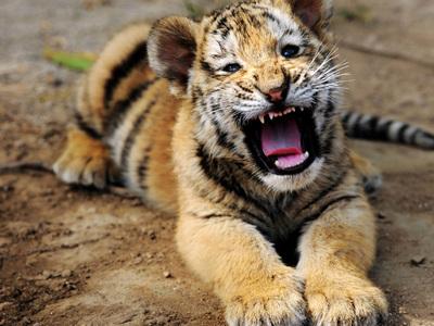 Индийская тигрица поставила рекорд рождаемости