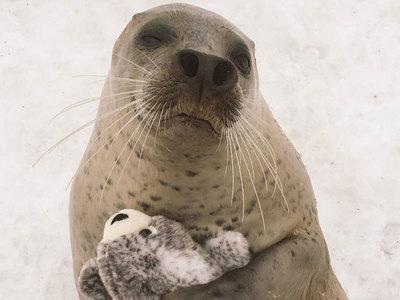 """""""Обнимашки"""" японского тюленя со своей игрушечной копией покорили Интернет"""