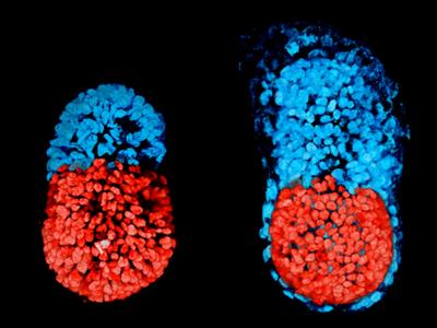 Жизнь в чашке Петри: учёные впервые создали искусственный эмбрион