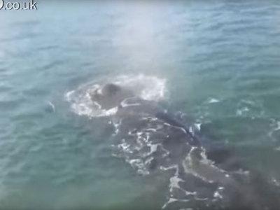 Запутавшийся в сетях кит подплыл к людям в надежде на спасение. Видео
