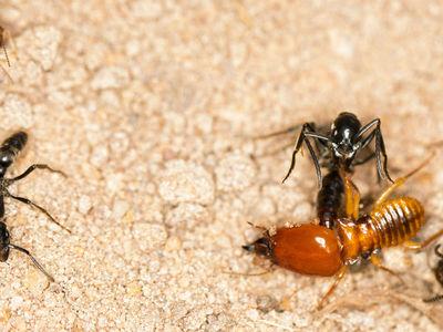 Великодушные муравьи эвакуируют с поля боя покалеченных собратьев