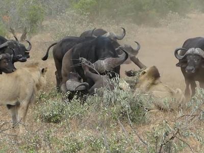 Стадо буйволов отбило сородича от напавших на него львов. Видео