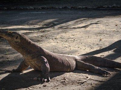 Комодский варан укусил за ногу туриста