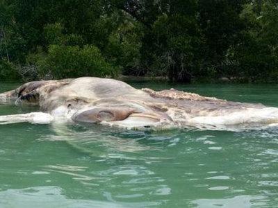 В Индонезии на берег выбросило тушу гигантского кальмара
