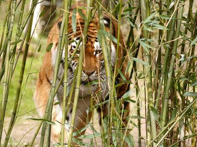 Тигр растерзал смотрительницу зоопарка