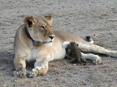 В Танзании львица усыновила леопарда