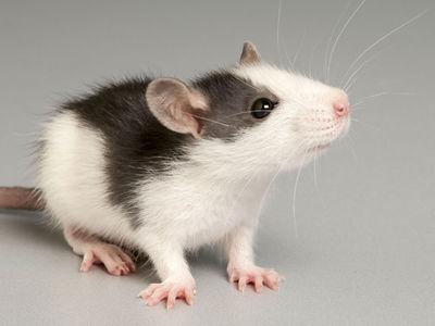 Ученые научились превращать крысиные сердца в человеческие