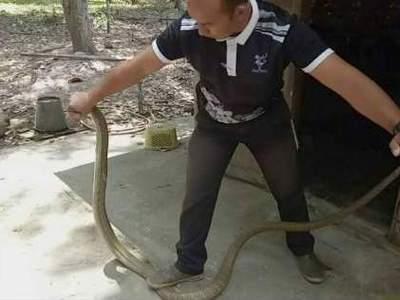 На готовившую еду женщину с потолка упала ядовитая кобра