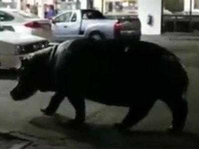 Бегемот забрел на автозаправочную станцию. Видео