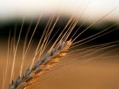 Снятие ограничений по-турецки: запрещены российская пшеница и масло