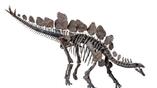 Учёные надеются разгадать, для чего динозавр использовал свои позвоночные пластины