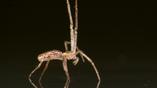 Исследователи считают, что линифииды и другие виды пауков в своих морских путешествиях похожи на корабли