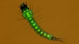 Личинки комаров были генетически модифицированы и несут гены, обуславливающие устойчивость к плазмодию