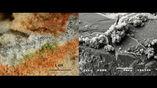 Колония грибов-эндолитов внутри кристаллов кварца под электронным микроскопом