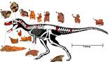 Реконструкция скелета динозавра. Показаны кости, обнаруженные палеонтологами