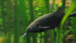 Рыба нильский слоник, чьи глаза вдохновили исследователей на создание инновационной линзы
