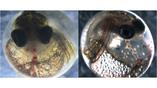 Сравнение эмбрионов: нормально развивающийся (слева) и деформированный после воздействия токсинов (справа).