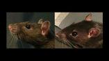 У довольного грызуна уши висят расслаблено по бокам, как на снимке справа, у обеспокоенного чем-то животного уши навострены, как на фото слева.
