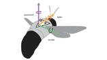 Схематическое изображение насекомого, показывающее три оси угловой ориентации тела, соответствующие трём углам Эйлера (крен, тангаж, рысканье), которые задают поворотное положение летательного аппарата относительно его центра.
