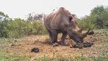 Самец белого носорога обнюхивает фекалии самки в отхожем месте в Южной Африке.