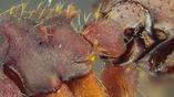 Биологи пока не могут точно сказать, как у жуков сформировалась такая модель поведения.