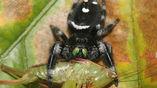 Паук-скакун Phidippus regius поймал кузнечика.