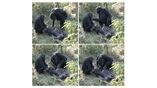 Самка шимпанзе очищает зубы умершего сородича.
