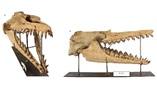 Восстановленный череп Coronodon havensteini.