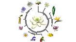Схематическое изображение эволюционного древа цветковых растений.