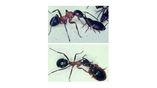 Жуки пользуются хитрыми приёмами, заставляя муравьёв отрыгивать запас еды.