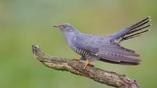 Обыкновенная кукушка (Cuculus canorus) является одним из самых искусных гнездовых паразитов.