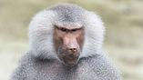Люди полагают, что у бабуинов нет достаточного количества пищи в их естественной среде обитания, но это не так.