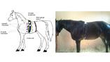 """""""Кардиопояс"""", разработанный авторами исследования специально для лошадей. Иллюстрация: Antonio Lanata"""