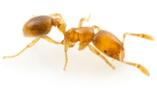 """Разработчиком"" самого мощного антибиотика, муравей Solenopsis molesta."