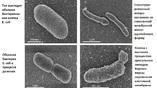 Сравнение обычной бактерии вида E. coli и воссозданного организма со смешанной мембраной.