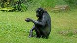 Бонобо наряду с шимпанзе – ближайшие ныне живущие родственники человека.