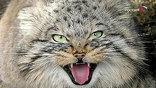 Этих манулов зоологи нашли котятами полгода назад