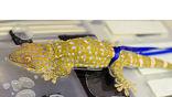 Исследование способности геккона закрепляться и передвигаться по влажной поверхности