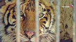 Врач Муромской ветстанции Роман Беличкин ставит неутешительный диагноз: у тигрицы обморожен нос. Если ее не начать лечить прямо сейчас, то жить ей осталось недолго