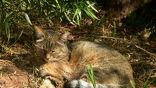 Степной кот, предок большинства домашних кошек