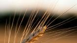 Пшеница является не только главной сельскохозяйственной культурой, но и обладателем одного из самых сложных геномов в мире