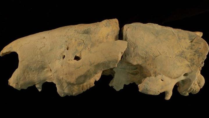 В Австралии найден неизвестный вид сумчатого льва