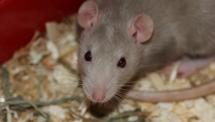 Российские учёные восстановили крысам-диабетикам поджелудочную