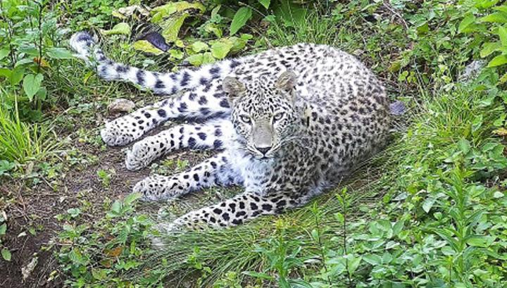 Экспедиция ученых отправляется в горы Южной Осетии на поиски пропавшего леопарда